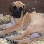 Great Dane Puppies For Sale Kc Registered