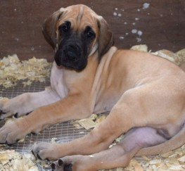 Pets  - Great Dane Puppies For Sale Kc Registered