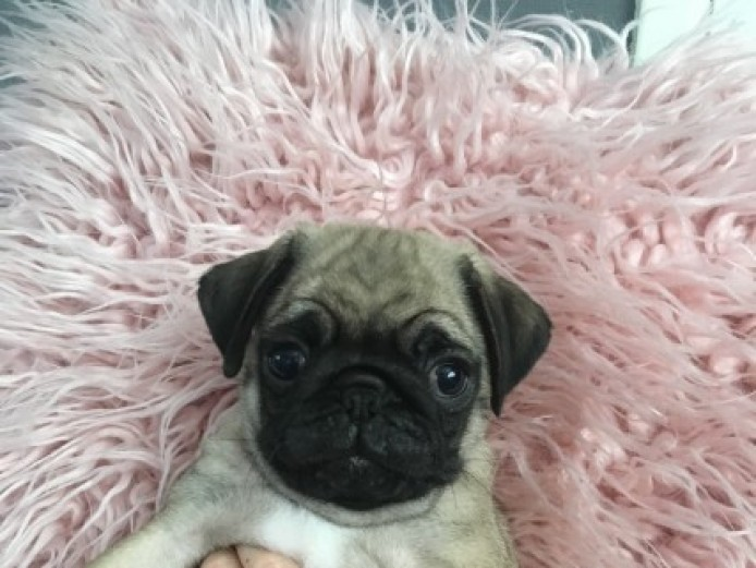 Kc Reg Pug Puppies 750