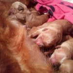 Delightful Dark Golden Puppies Ready May