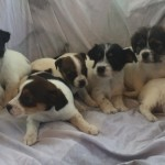 Gorgeous Litter Of Jack Russells