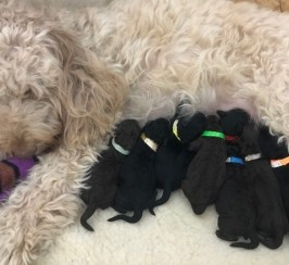 Labradoodle Multigeneration Puppies