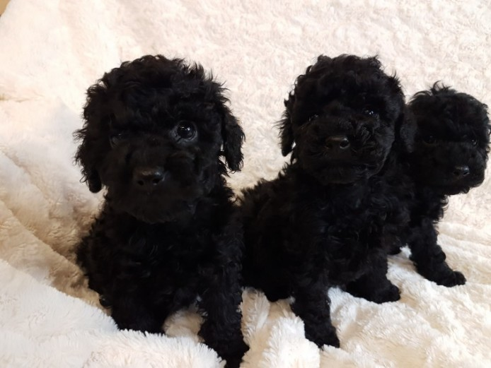 Gorgeous Black Toy Poodle Pups . Pra Clear