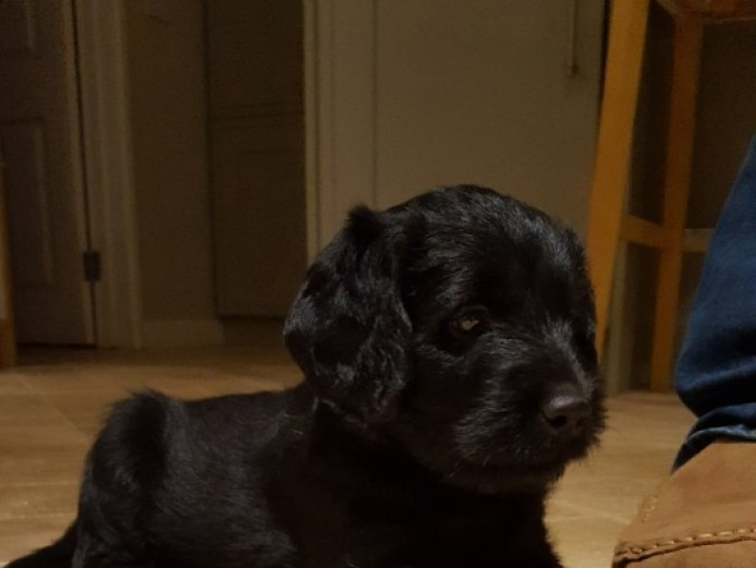 Last Labradoodle Bitch Puppy Available