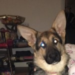 7 Month Old German Shepherd Bitch For Sale