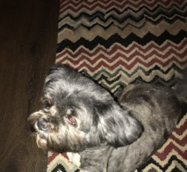 Lhasa Apso Bitch For Sale