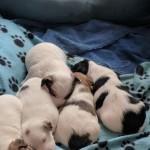 2 Jack Russel Terrier Pups