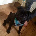 Ready!beautiful Kc Health Tested Clear Pug Puppies
