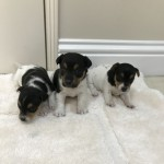 Jack Russel Puppies Miniture