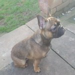 ## Fawn French Female For Sale ##