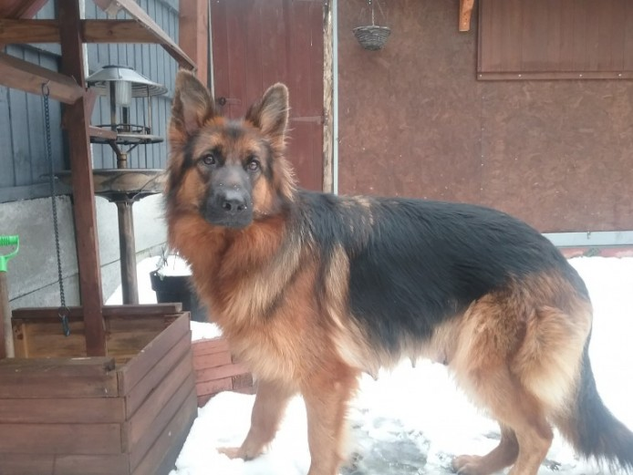 Outstanding Quality Gsd Puppies For Sale