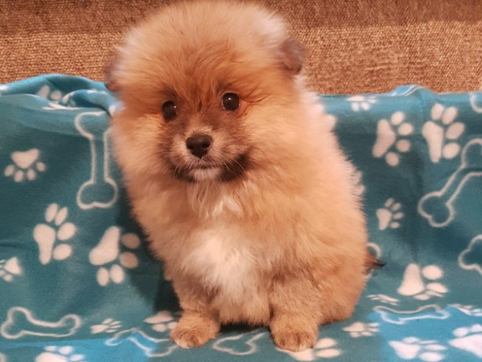 Multi Colored Teacup Pomeranian Puppies 8weeks Old