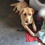 Two Labrador Cross German Sheperds For Sale