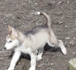 **ready Now** Siberian Husky Puppies