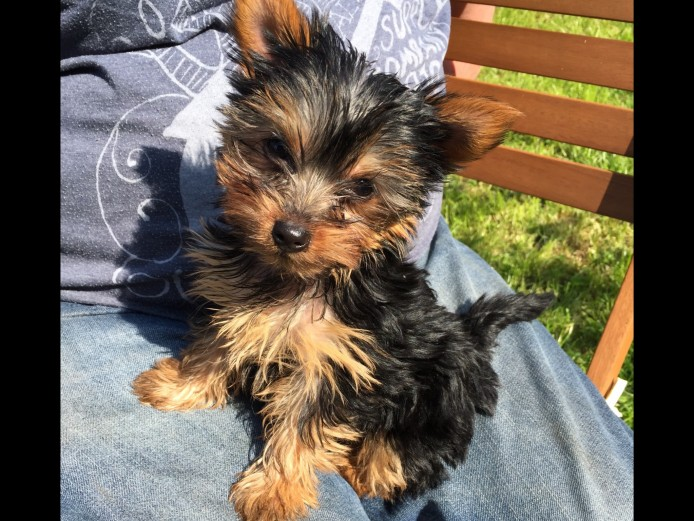 Very Tiny Pure Breed Yorkshire Terrier