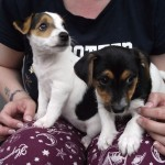 2 Beautiful Patterjack Puppies For Sale (Jack Russell x Patterdale Terrior)