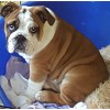 Pets for Sale - 13week old tan/white with black patch on eye male bulldog
