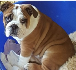 13week old tan/white with black patch on eye male bulldog