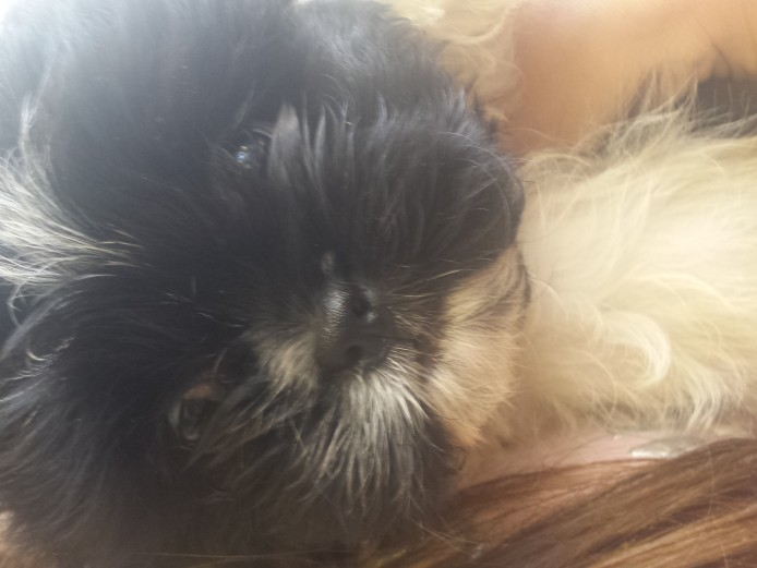 Shitzu puppy