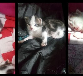 Maine coon / Bengal kittens for sale