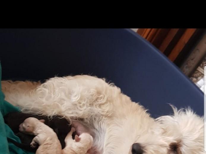 F1b miniature Labradoodle Puppies