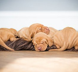 Pets  - Hungarian Vizsla Puppies