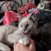 Pets for Sale - Beautiful blue point mitted boy ragdoll available now