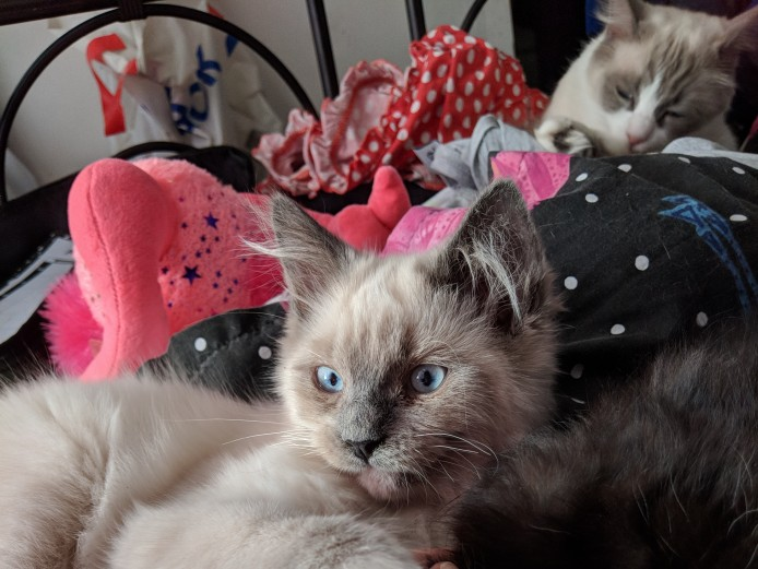 Beautiful blue point mitted boy ragdoll available now