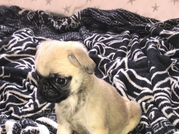 White gene pug puppies for sale