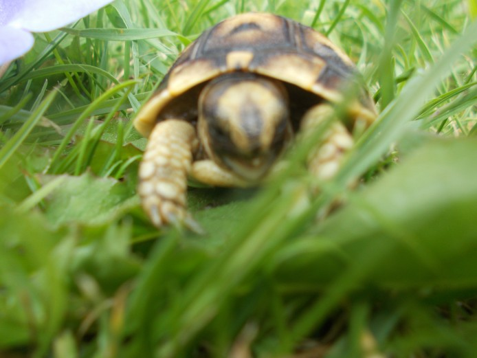 Hermann/ Ibera spur thighed/Tunisian spur thighed tortoise hatchlings