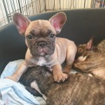Stunning french bulldog puppys ready to go now