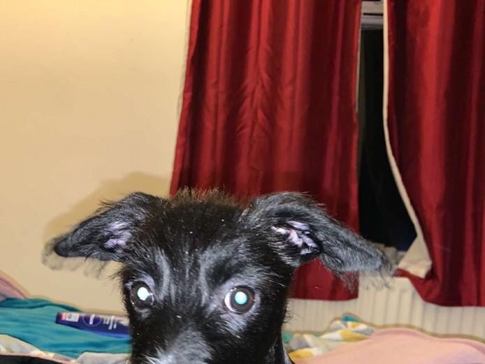 Dachshund cross jackrussle puppy