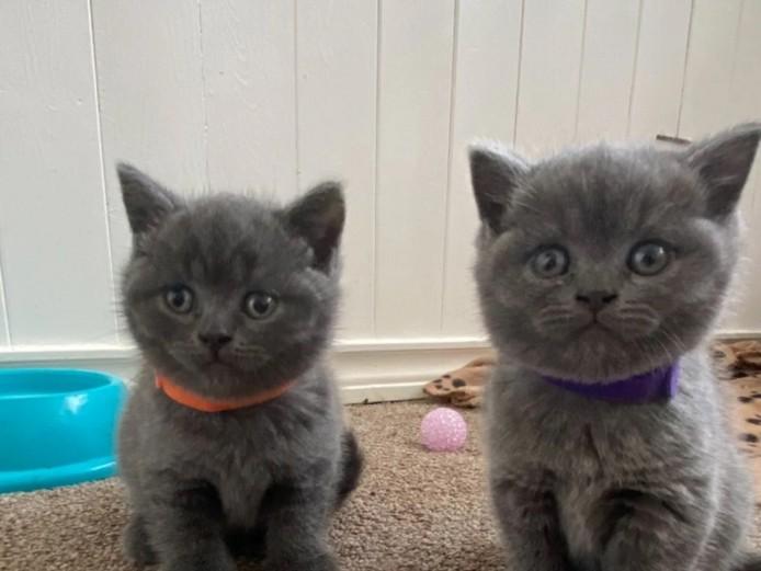 British Shorthair Kittens Gccf Registered Non-Active.