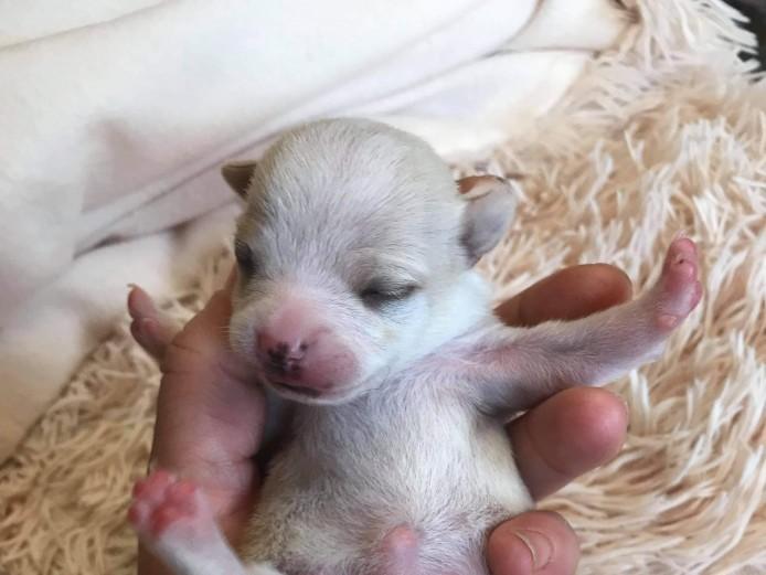 Beautiful short haired chihuahua pups