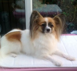 Pets  - Beautiful Papillon
