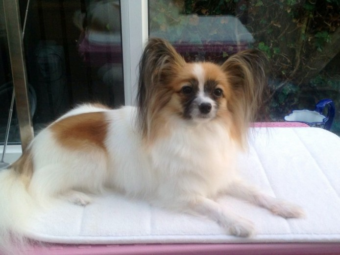 Beautiful Papillon