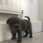 *ready Now*3 Left Kc Shar Pei Puppies