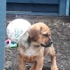 Pets  - 4 Beautiful Puggle Boys Ready Now