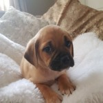 Beautiful Puggle Puppy