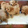 Pets  - 5 Rare Red Schnoodle Puppies