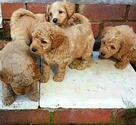 5 Rare Red Schnoodle Puppies