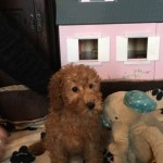 Pra Clear Red Miniature Poodles Only One Left