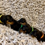 Fabulous Litter Of Miniature Smooth Coated Dachshu