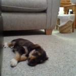 Miniature Schnauzer - Jack Russell X (male)