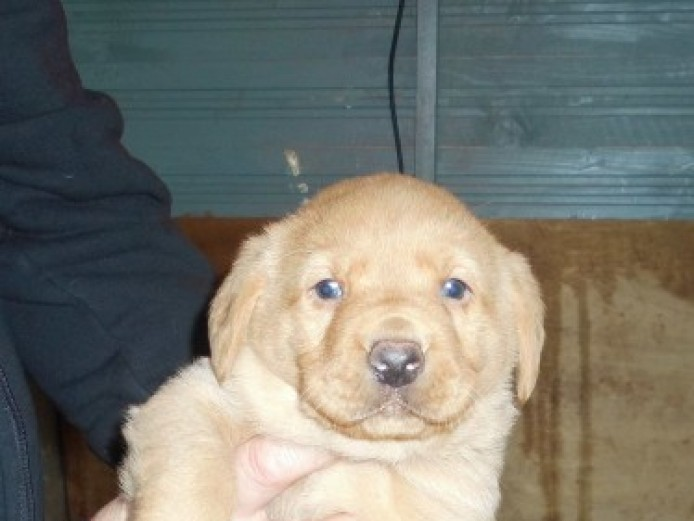 Fox Red  Puppys For Sale