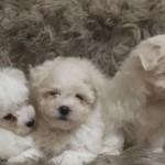 4 Maltese X Pups