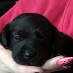 Kc Regd  Black Labrador Puppies Ready Now