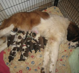 Beautiful Saint Bernards Puppies