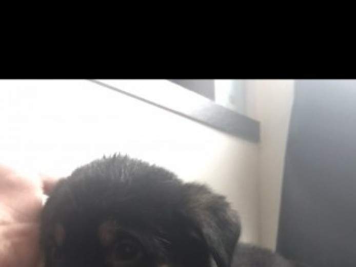 3/4 Rottweiler X 1/4 Japanese Akita Puppies