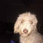 Beddie Poo ( Bedlington X Poodle)